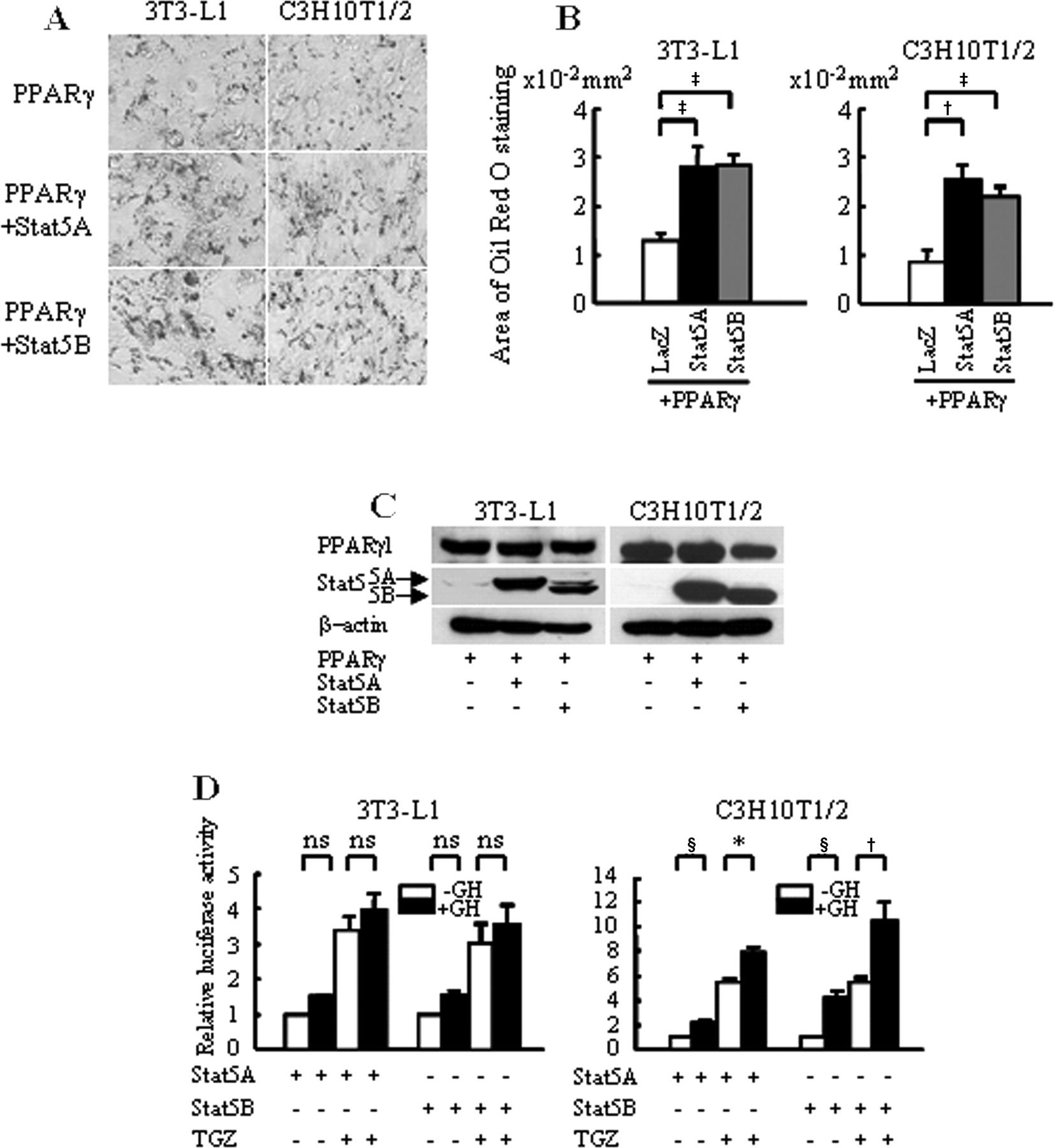 Growth hormone stimulates adipogenesis of 3T3-L1 cells through