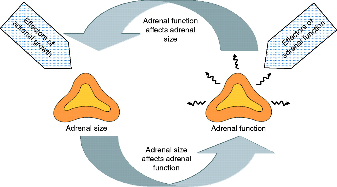 Mechanisms Of Adrenal Gland Growth Signal Integration By