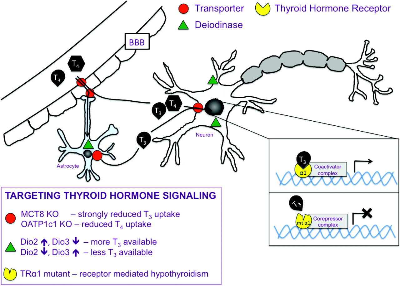 Thyroid Hormone And The Central Control Of Homeostasis In Journal