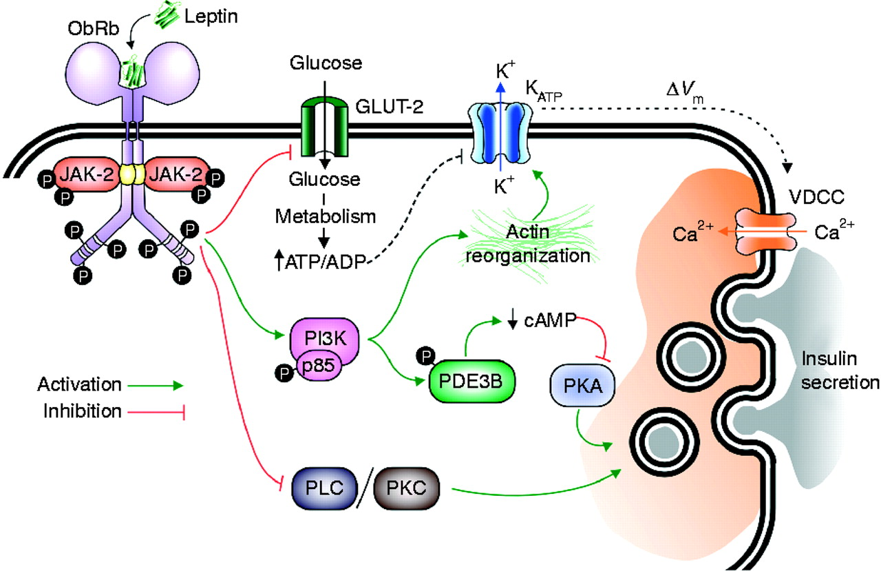 Role Of Leptin In The Pancreatic Cell Effects And Signaling