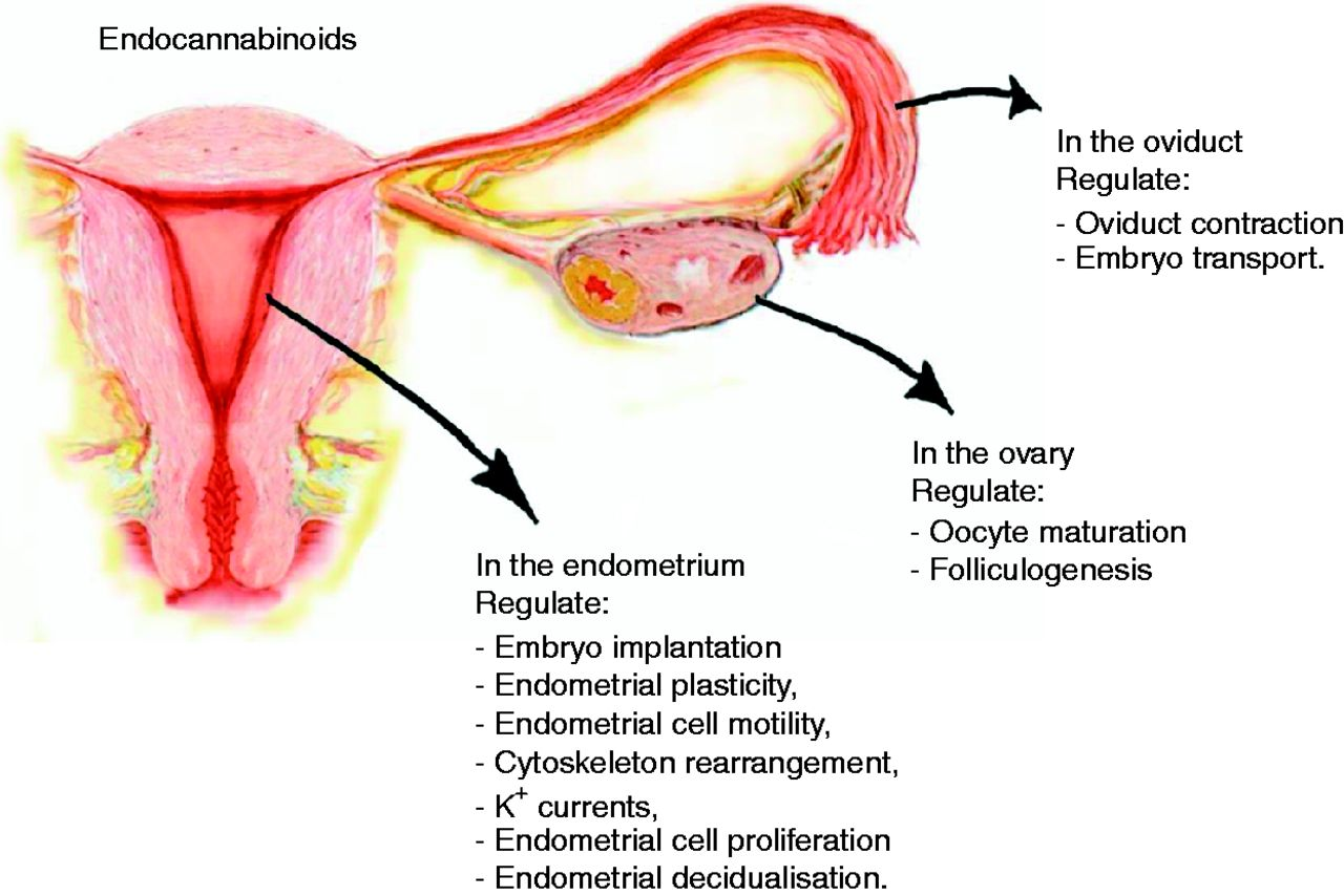 The Endocannabinoid Pathway And The Female Reproductive Organs