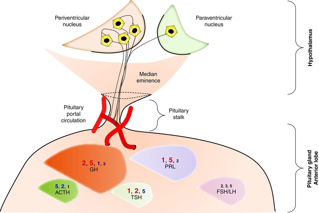 Somatostatin System Molecular Mechanisms Regulating Anterior