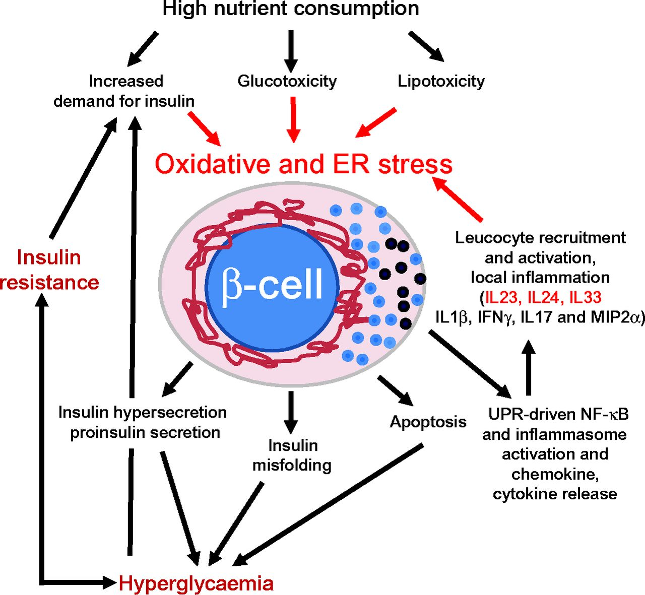 Oxidative And Endoplasmic Reticulum Stress In Cell Dysfunction In