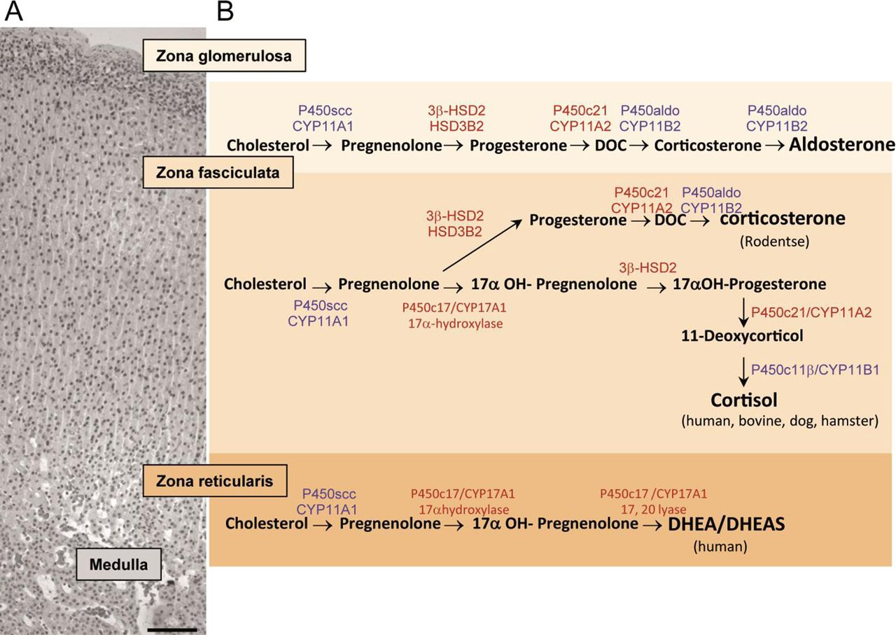 60 Years Of Pomc Adrenal And Extra Adrenal Functions Of Acth