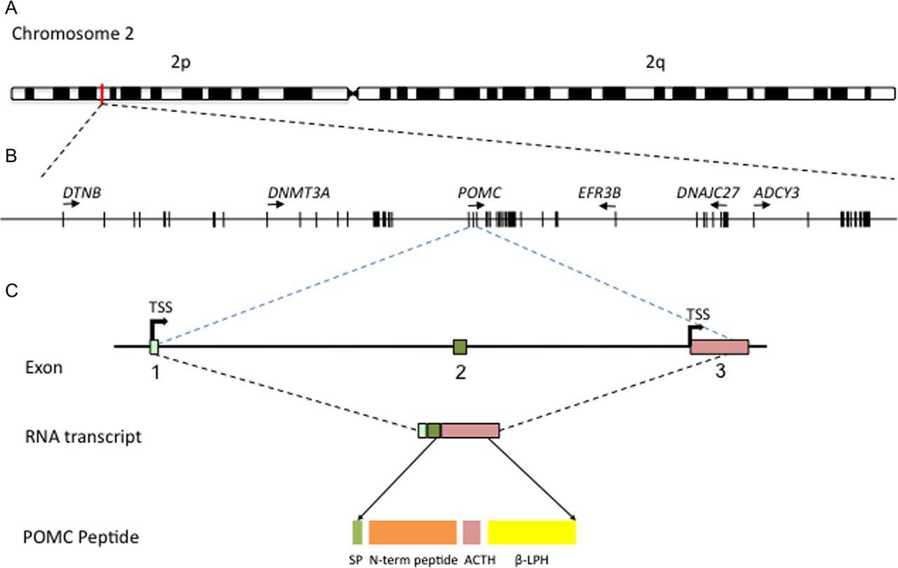 60 YEARS OF POMC: The proopiomelanocortin gene: discovery, deletion ...