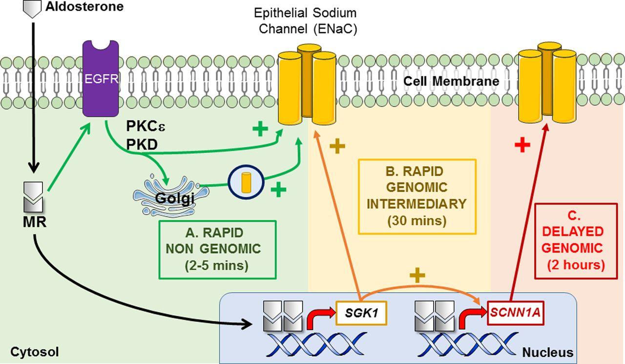 Mineralocorticoid Regulation Of Cell Function The Role Rapid Jpeg 12 Volt Relay Diagram Group Picture Image By Tag Keywordpictures Figure 2