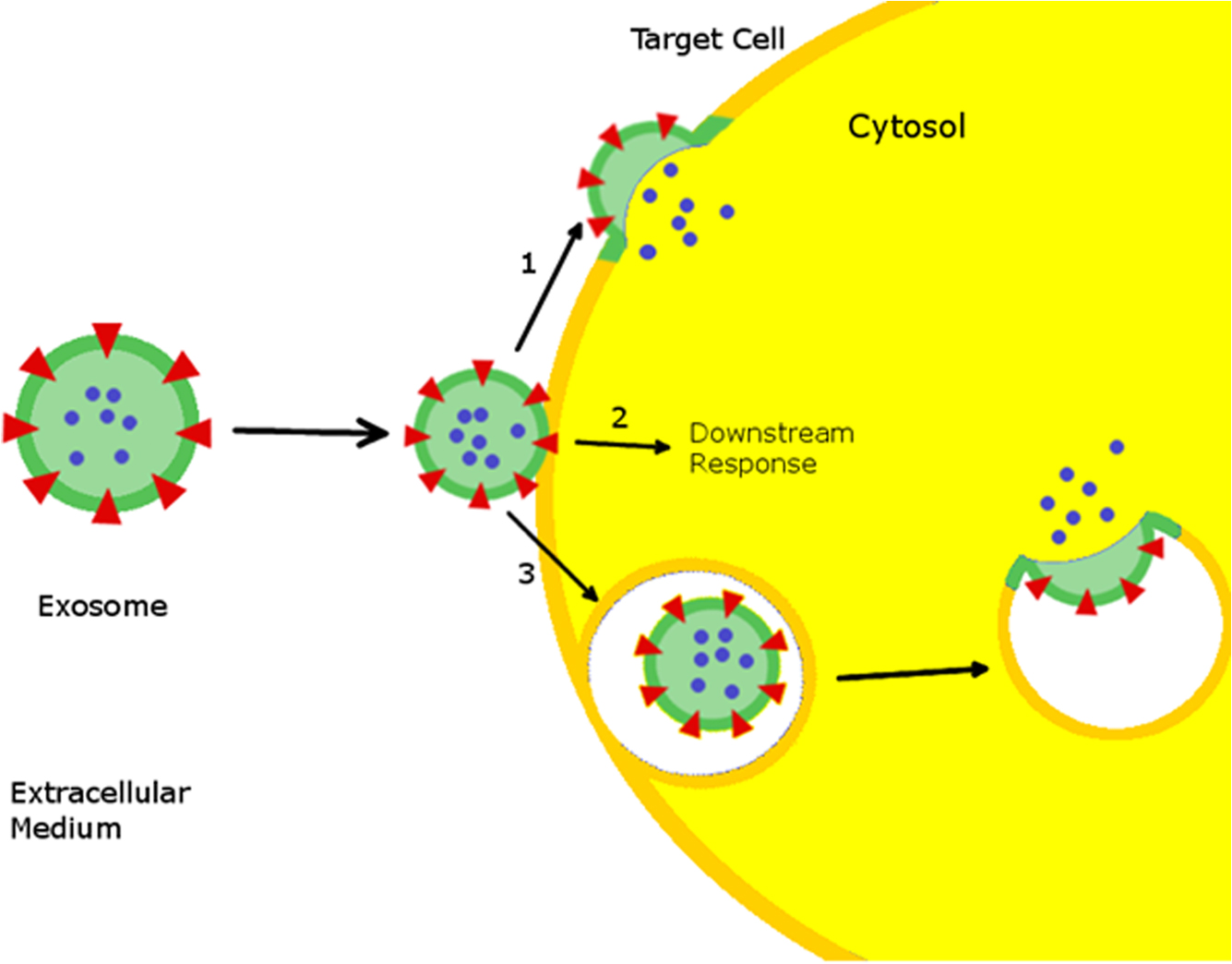 Stem Cell Derived Exosomes A Novel Vector For Tissue Repair And