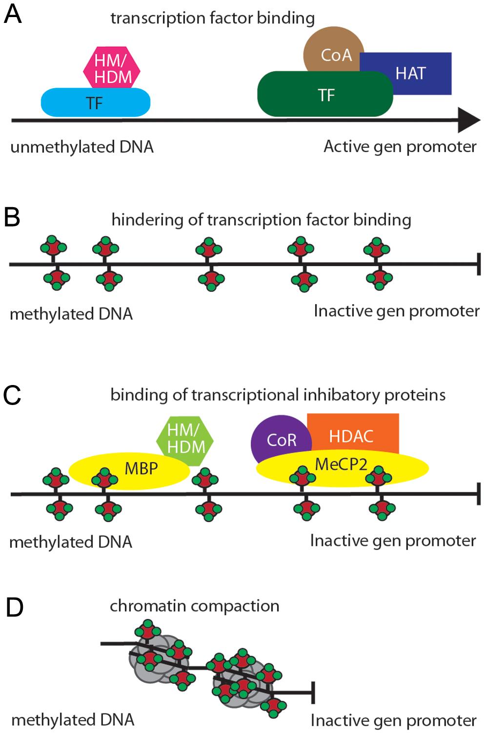 Dna Methylation In Epigenetic Inheritance Of Metabolic