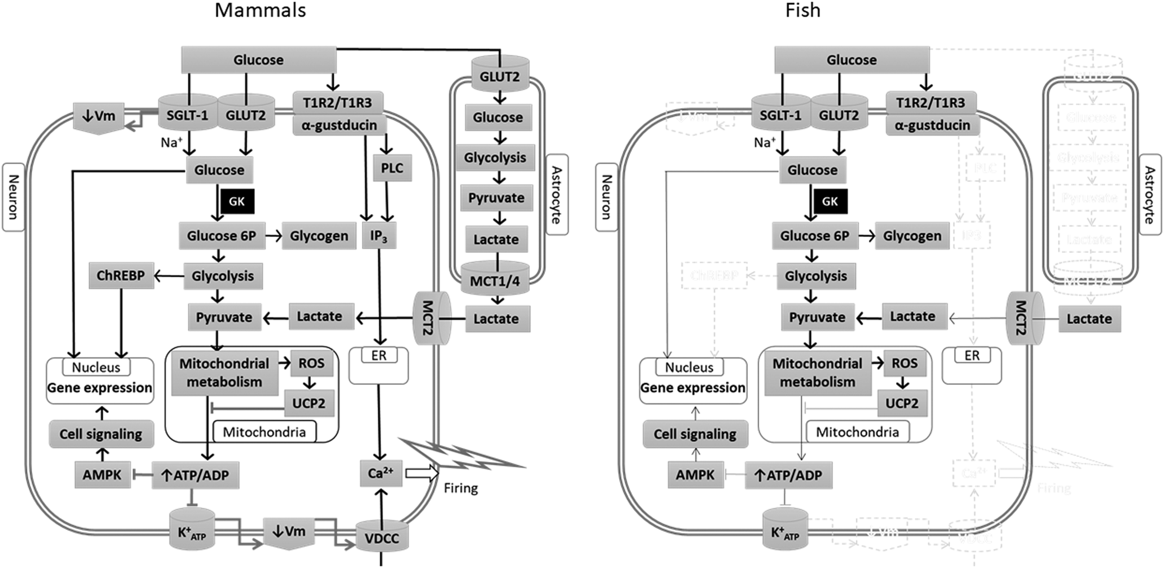 Central Regulation Of Food Intake In Fish An Evolutionary Including Their Appearance And The Symbol On Schematic Circuits View Gallery Drawing With