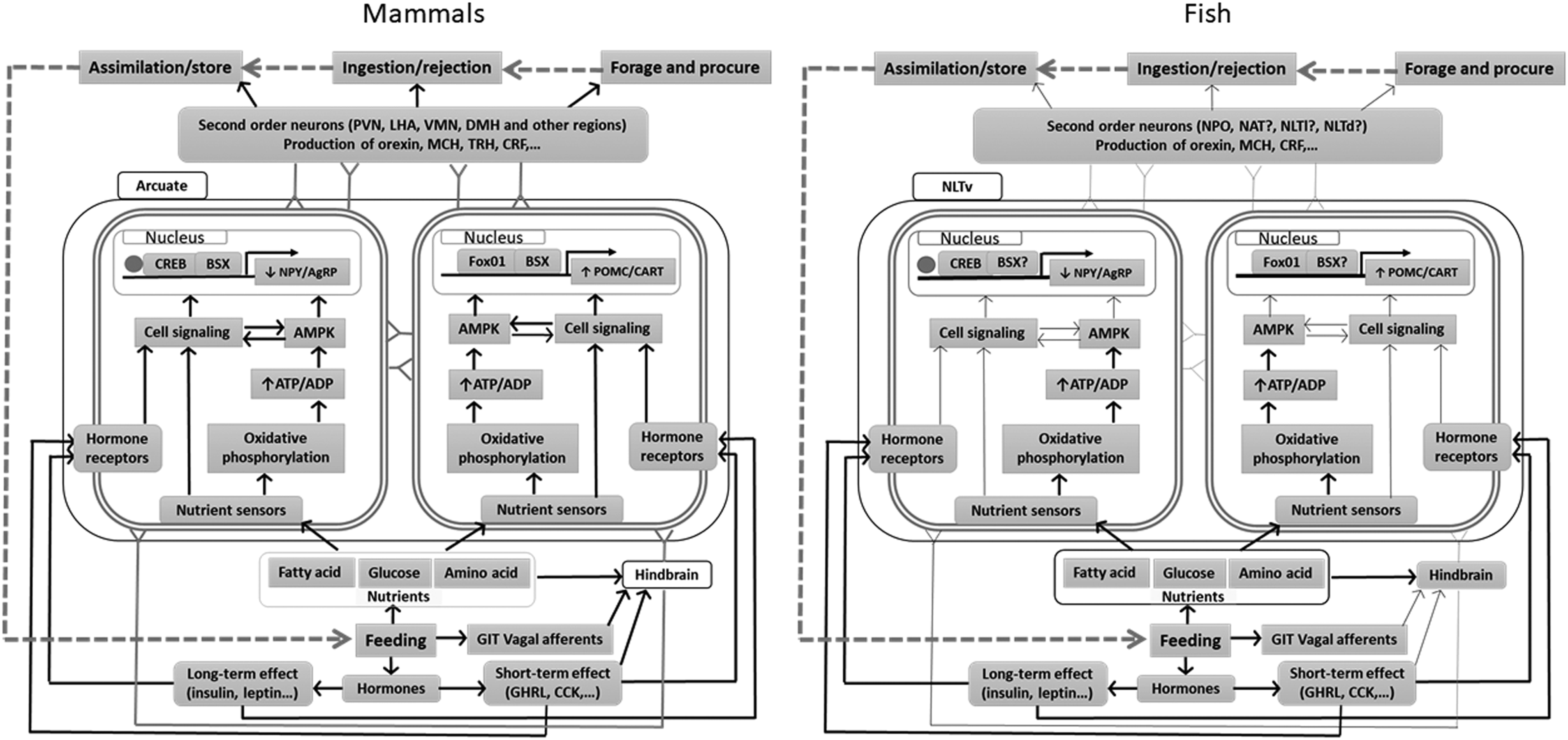 Central regulation of food intake in fish: an evolutionary ... on