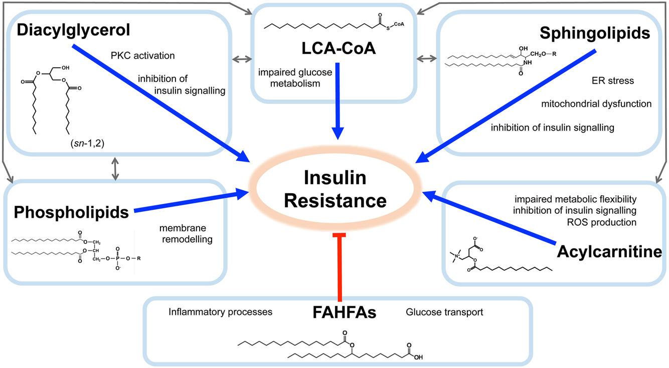 Defining Lipid Mediators Of Insulin Resistance Controversies And The Ps 2 Mouse Schematic Sent To Me By Bui Van Chu From Australia Figure 1